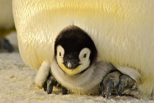 antarctic-penguin