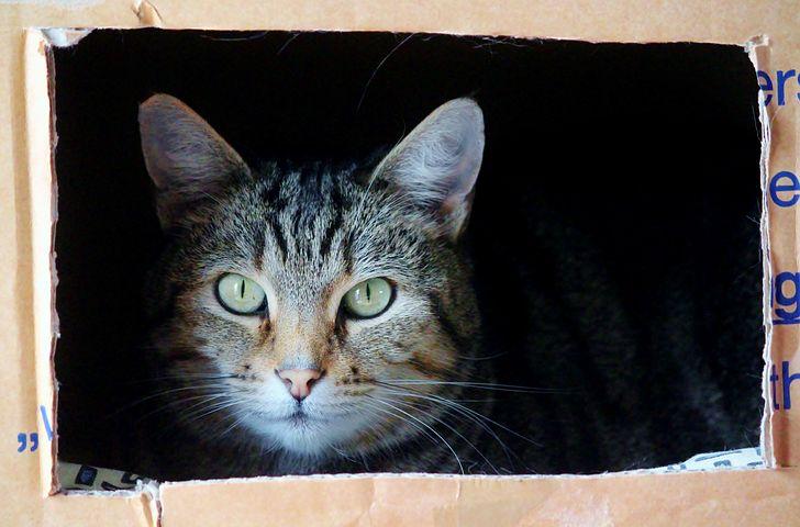 cat-in-cardboard-box