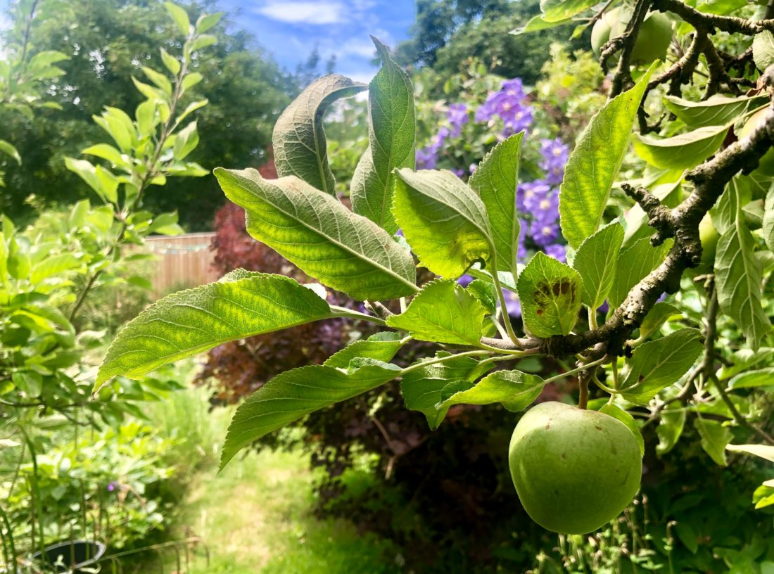 organic-apple-tree